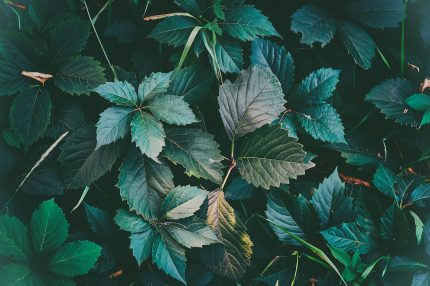 Texture of green leaves in close up