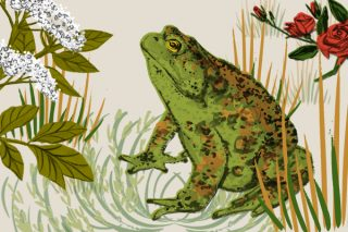 A hand-drawn illustration of a toad with flowers around him, elderflower and roses.